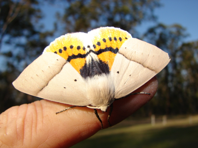 Beautiful Leaf Moth