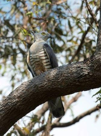 Pacific Baza .  Rowley Willis