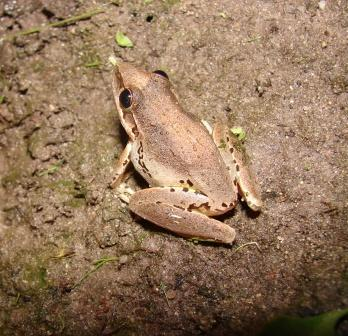 Broad-palmed Rocket Frog