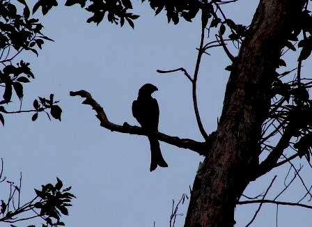 Spangled Drongo