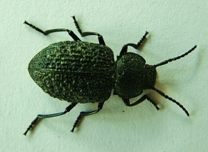 Darkling Beetle