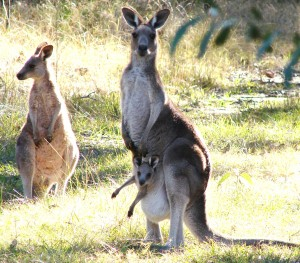 Grey Kangaroo and Joey