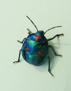 COtton Harlequin Bug 5th. Instar