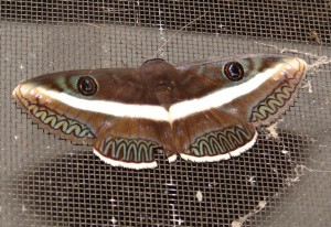 Donuca lanipes Moth