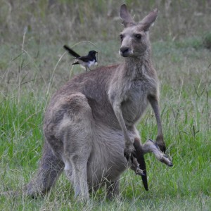 Grey Kangaroo Joey and Willy Wagtai;l