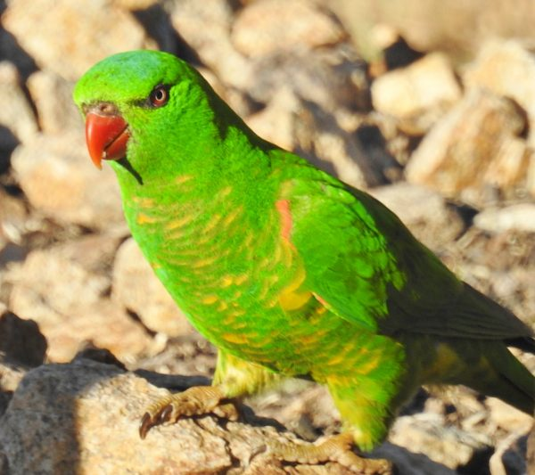 Plain Green Lorikeet With Yellow Margins To Plumage Of Neck And Breast Giving A Scaly Appearance Found Feeding On Red Ironbark Nectar Only Seen Here
